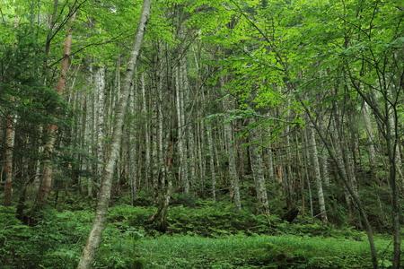 primeval forest: Primeval forest at higher altitudes Stock Photo