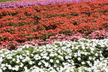 impatiens: Flower garden of Impatiens