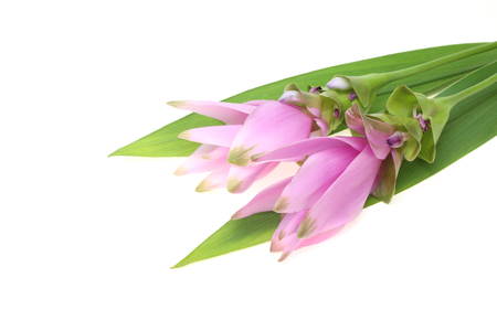 curcuma: Curcuma with leaves