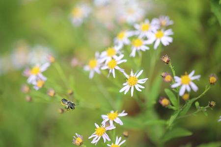 honeybee: Japanese honeybee and wild chrysanthemum