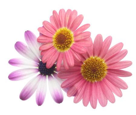 african daisy: Flower head of african daisy and marguerite Stock Photo