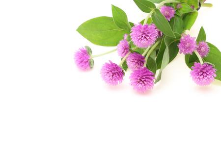 amaranth: Globe amaranth