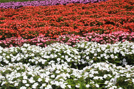 garden scenery: Flower garden of Impatiens