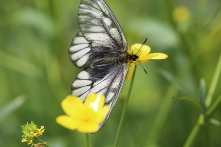 clouded: Japanese Clouded Apollo on buttercup Stock Photo