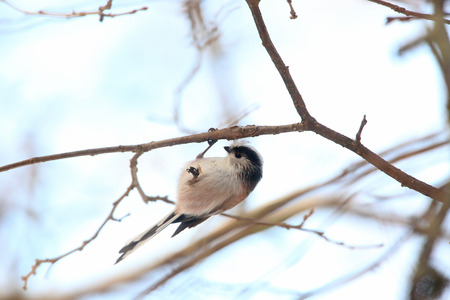 tailed: Long tailed tit hanging from the branch of the tree