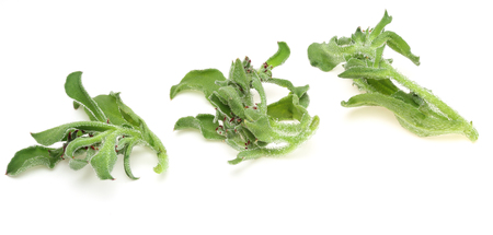 ice plant: Common Ice Plant Stock Photo