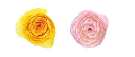 buttercup: Flower head of Persian buttercup Stock Photo