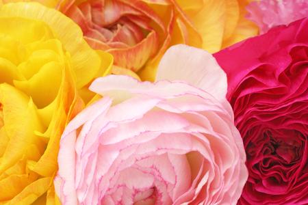 persian buttercup: Closeup picture of Persian buttercup Stock Photo