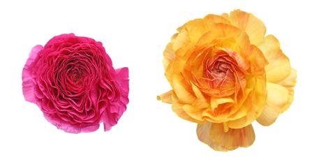persian buttercup: Flower head of Persian buttercup Stock Photo