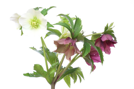 christmas rose: Christmas rose in a white background Stock Photo