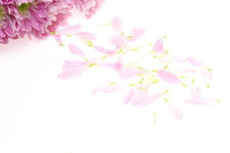 Petal of chrysanthemum
