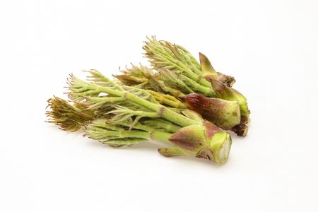 aralia: Aralia Sprout Stock Photo