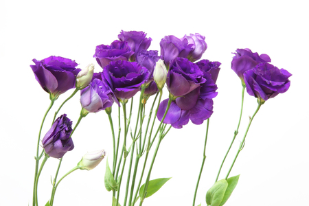 gentian flower: Eustoma in a white background Stock Photo
