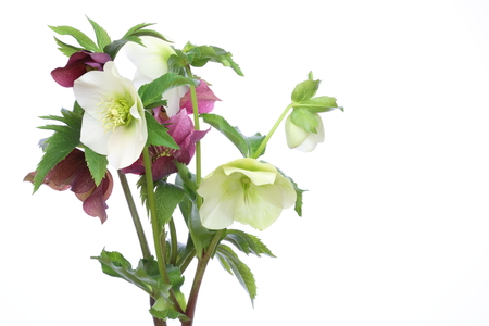 Christmas rose in a white background Stock Photo