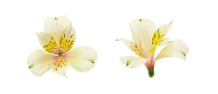 alstroemeria: Flower head of Alstroemeria