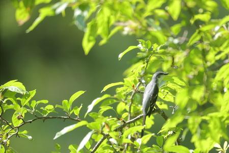 ashy: Ashy minivet on the branch of tree