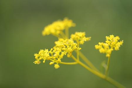 golden: Golden Lace Stock Photo