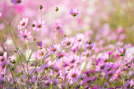 Flower field of Cosmos