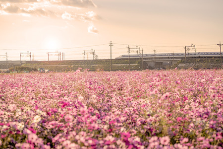 Shinkansen bullet train with cosmos field