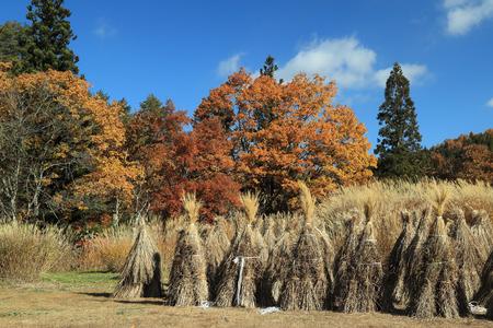 bundled: Bundled straws in japanese farm