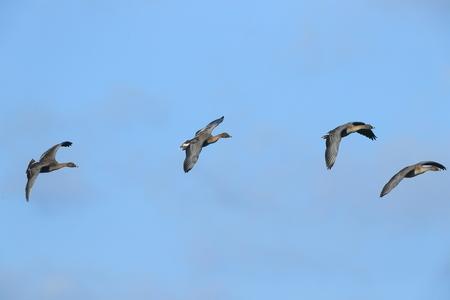Bean goose in flight