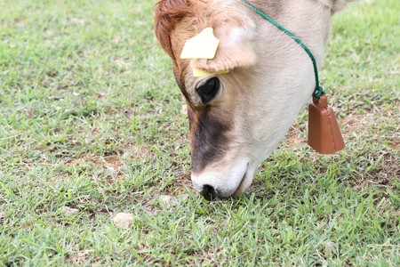 jersey cow: Cow eating grass