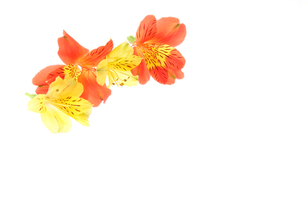 Flower head of alstroemeria