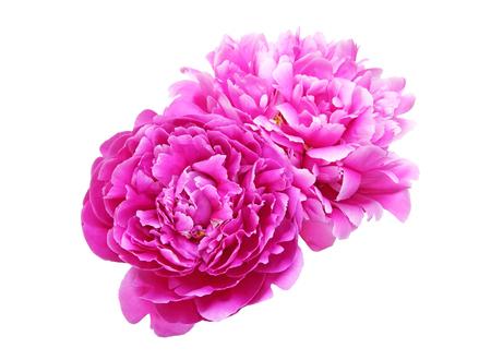 牡丹の花の頭