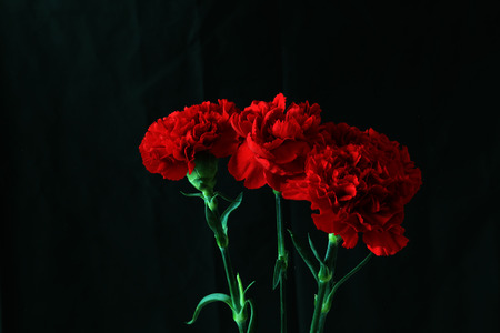 Carnation in a black background