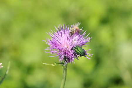 Japanese thistle with bee and beetle