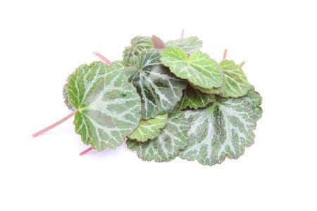 Leaf of Saxifrage Archivio Fotografico