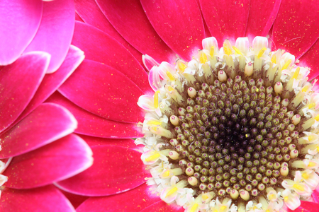 Closeup picture of transvaal daisy