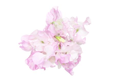 bloemhoofd van sweetpea op een witte achtergrond Stockfoto