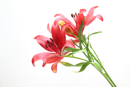 Lily in a white background Stockfoto