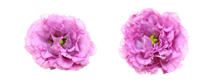 flower head of Eustoma in a white background Stock Photo