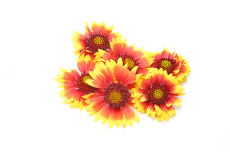 flower head of Gaillardia in a white background
