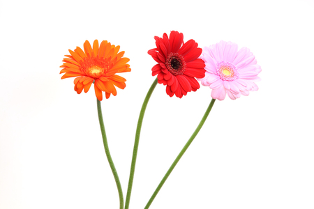 transvaal daisies in a white background