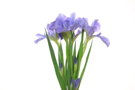 iris in a white background