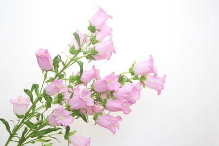 bouquet of bellflower in a white background