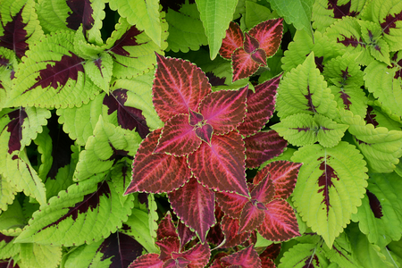 leaves of Coleus fills in whole screen