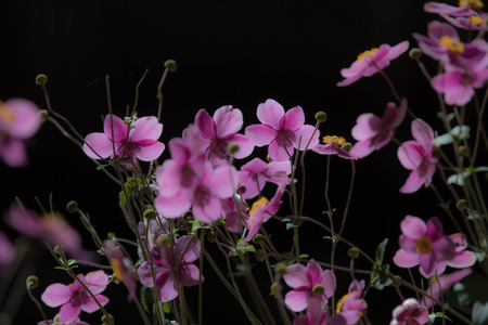 apanese thimbleweed in outdoor