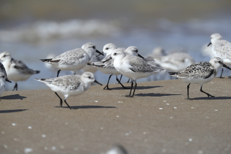 a group of sandpiper on the beach Stock Photo