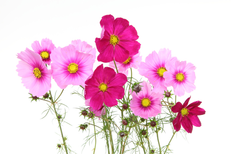 cosmos in a white background