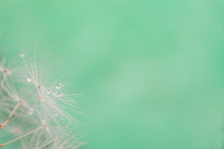 Closeup picture of dandelion seeds
