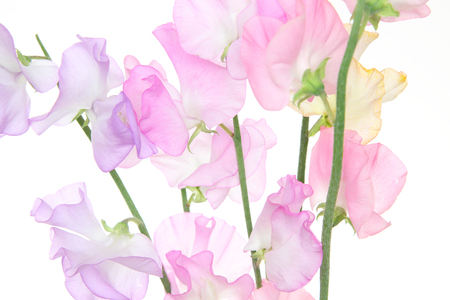 sweetpea  in a white background