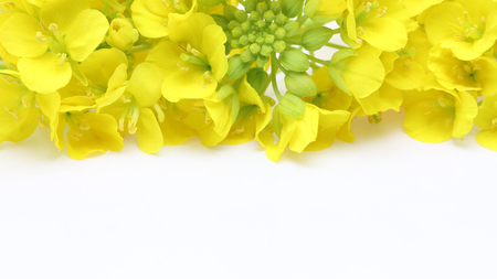 canola flowers in a white background