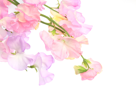 various color of sweetpea in a white background