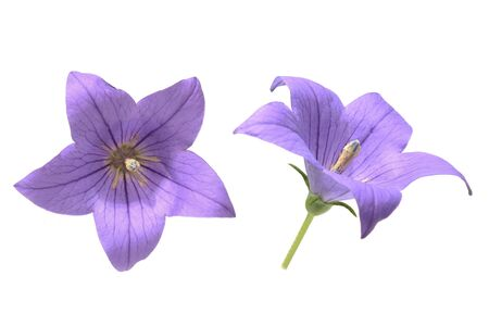 flower head of balloon flower in a white background