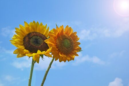 sunflower with blue sky and cloud Banco de Imagens