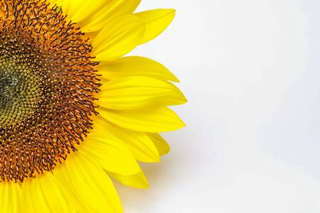 sunflower in a white background